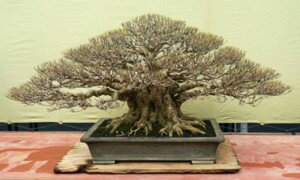 :: FICUS MICROCARPA (Iwan Hidayat Collection) ... created by AH Lutfi ... One of the best in the ASPAC 2007