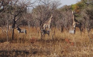 In her forest, 7000 acres and fenced, Neli is digging Yamadori